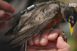 GPS-трекеры для дроздов: биологи изучают причины миграции певчих птиц