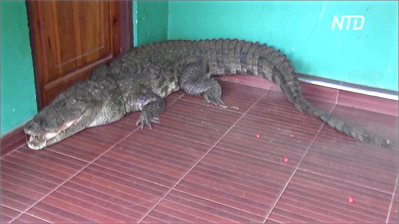 Крокодил на пороге: как на Шри-Ланке отлавливали трёхметровую рептилию