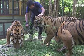 В тайское «Королевство тигров» возвращаются посетители