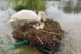 Мужчина вмешался и спас птенцов лебедя