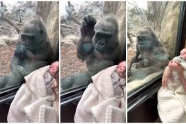 Встречу гориллы и мамы с грудным младенцем посмотрели более 4 млн раз