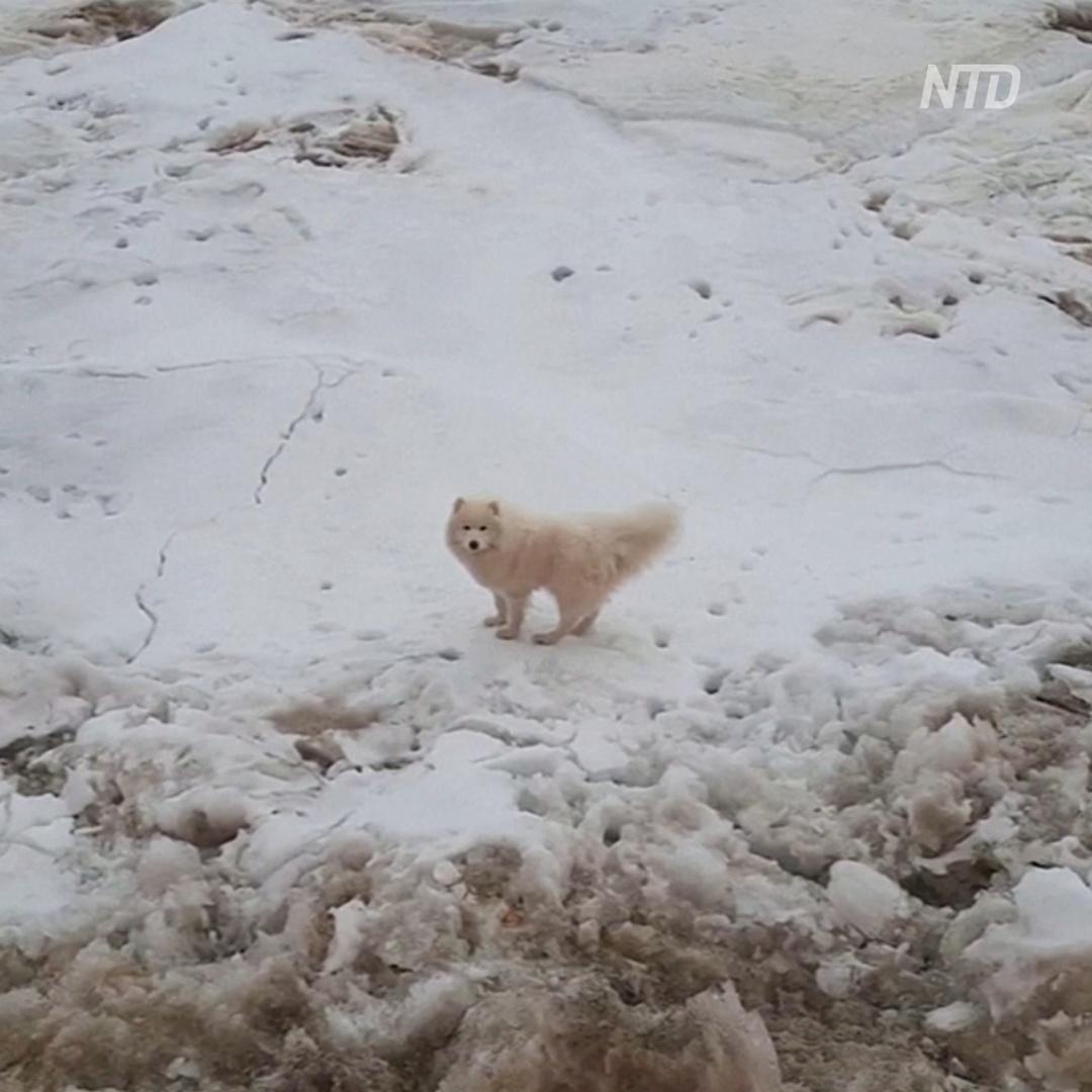 Как ледокол спасал собаку в арктических льдах