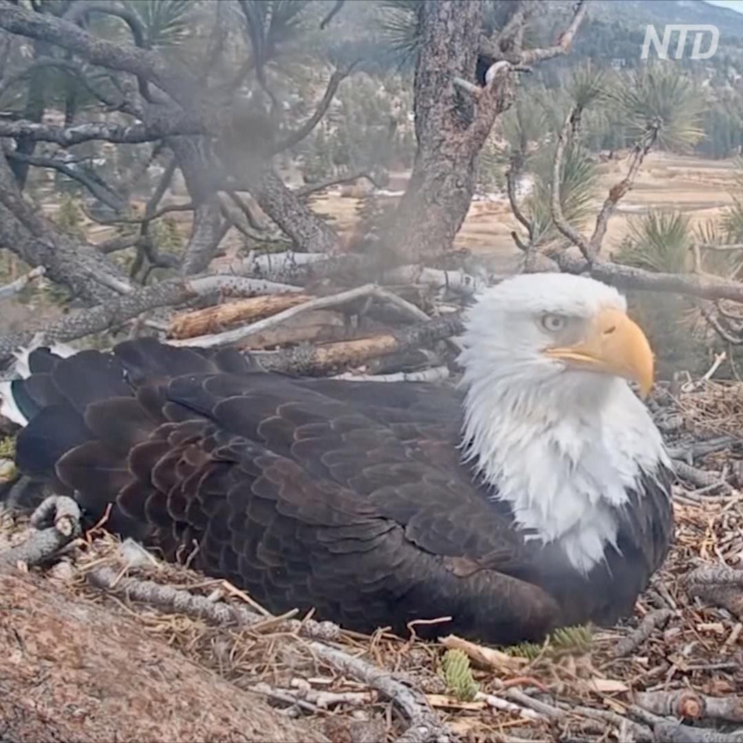 Птичий «Дом-2»: американцы следят за жизнью орланов