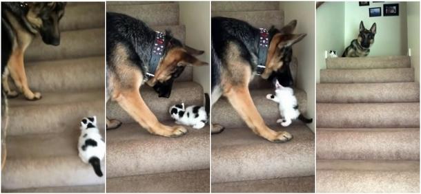 Как котёнок и овчарка поднимались по лестнице. Весёлое видео