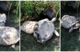 Видео, как одна черепаха поставила другую на ноги, посмотрели 6 млн раз