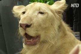 В Камбодже изъятого льва вернули хозяину после распоряжения премьера страны