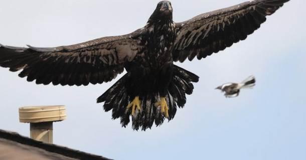 Птенец белоголового орлана всё же полетел