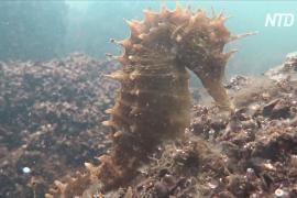 Колонию морских коньков заметили в загрязнённой греческой лагуне