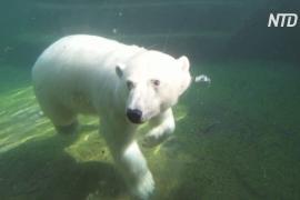 В Московском зоопарке медведи спасаются от жары, купаясь в бассейнах