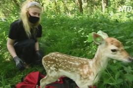 Поймать оленёнка: в дублинском парке волонтёры проводят замеры животных