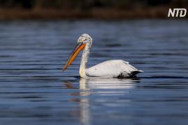 В Албании восстанавливают популяцию кудрявых пеликанов