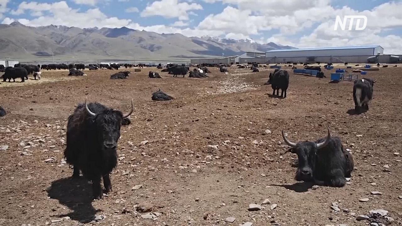 Как в горах Тибета создают «колхозные» фермы с яками