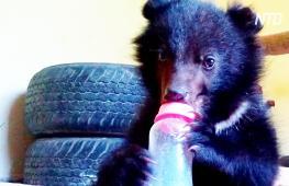 Пакистанские лесничие готовят спасённого медвежонка к жизни на воле