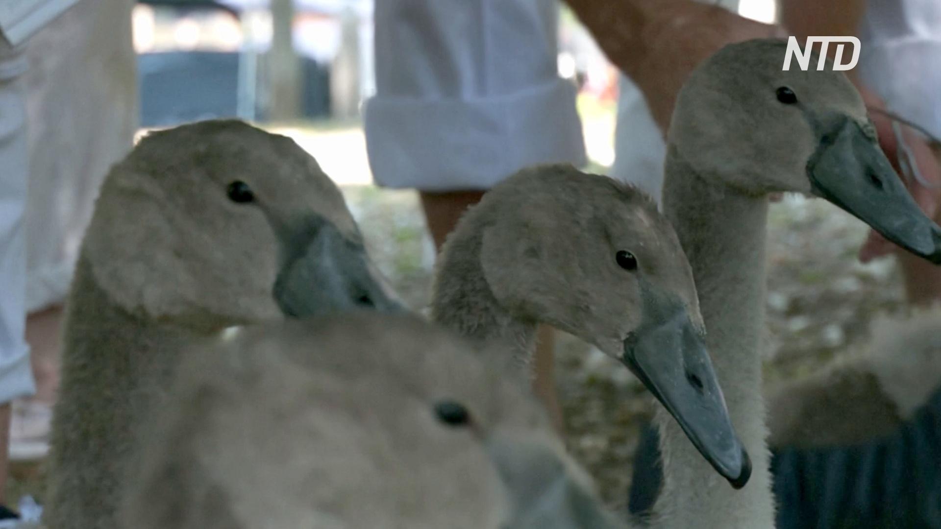 На Темзе снова пересчитывают лебедей