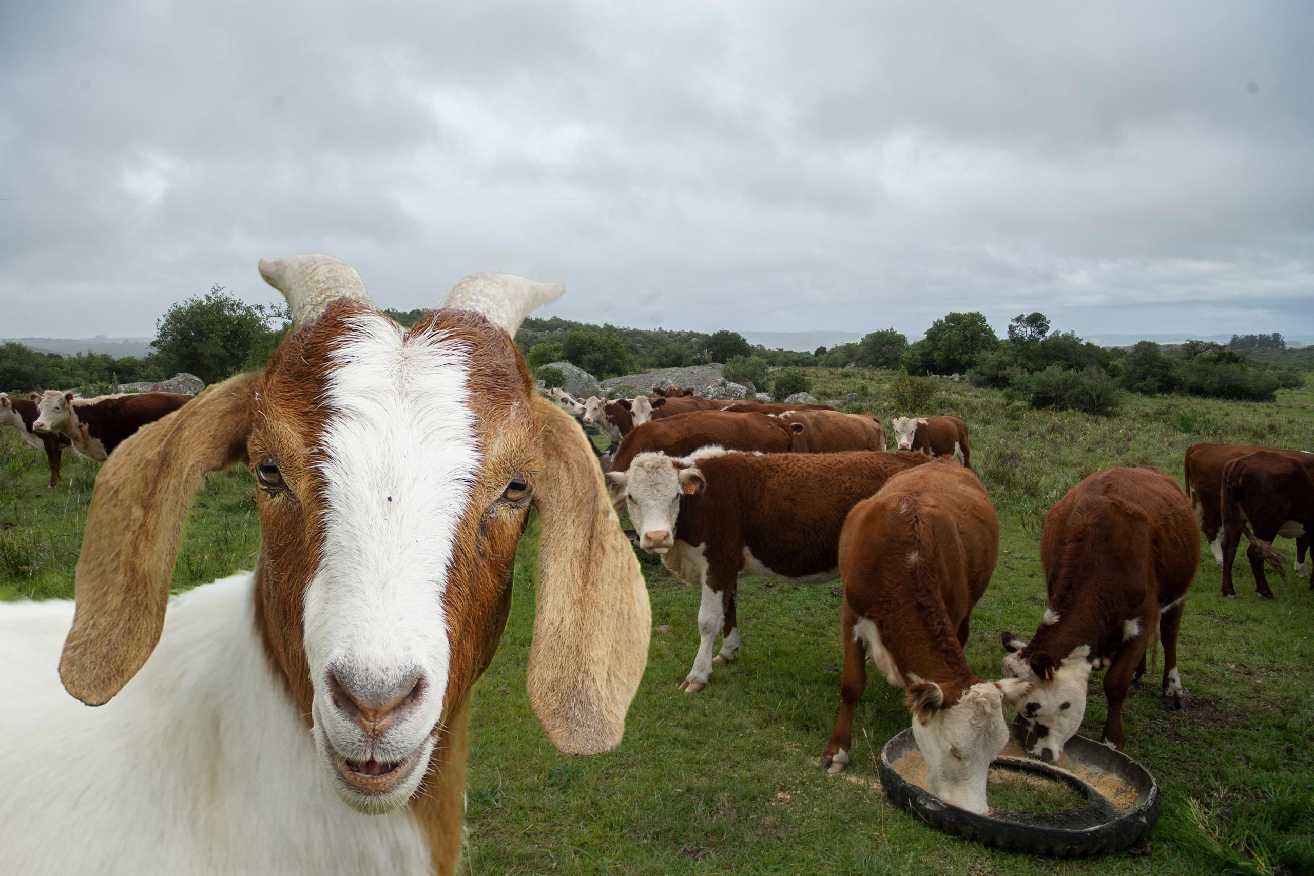 Вместо коровы – коза: почему американские фермеры обновляют свои стада