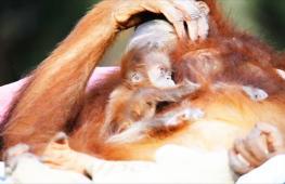 В израильском зоопарке родился детёныш исчезающего суматранского орангутана