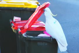 Исследование: какаду учат друг друга открывать мусорные баки