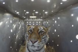 Тигрицу, охотившуюся на собак, вернули в дикую природу в Амурской области