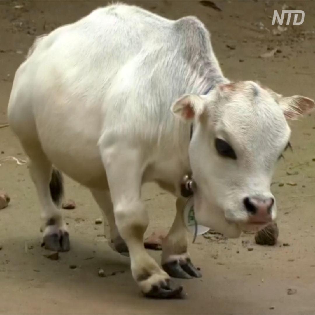 Где живёт самая маленькая корова в мире