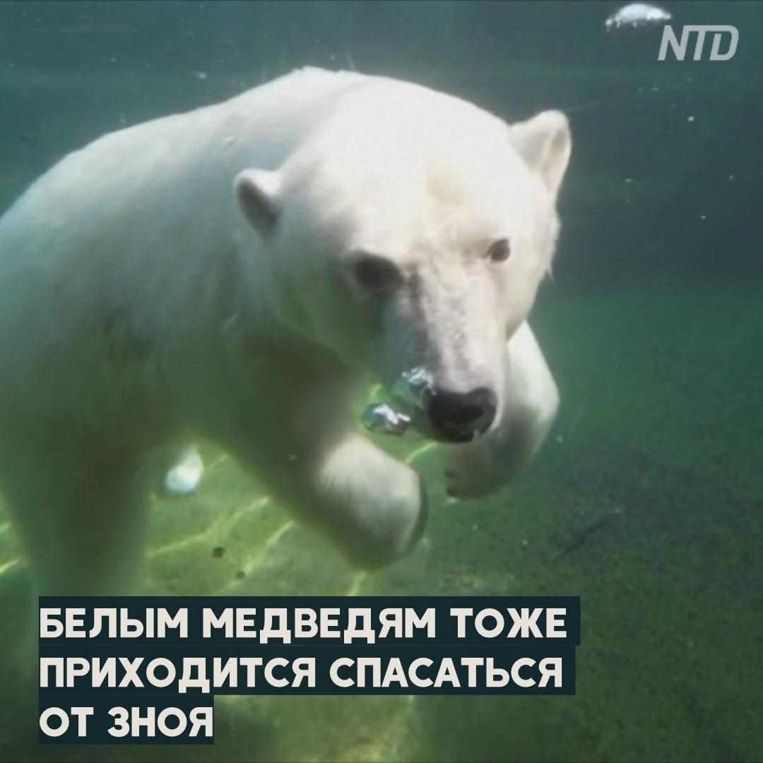 Панды и медведи в Московском зоопарке охлаждаются льдом и водой
