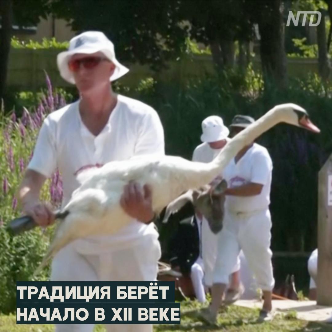 Сколько лебедей на Темзе: начался ежегодный пересчёт