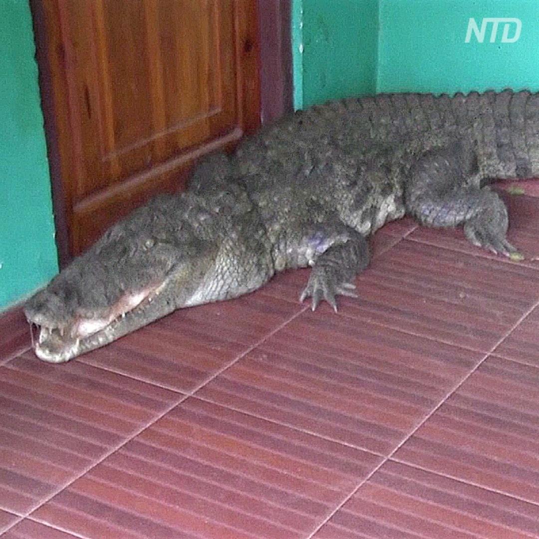 Как у дома на Шри-Ланке ловили почти трёхметрового крокодила