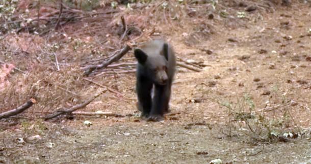 Калифорния: в сгоревшем лесу находят медвежат