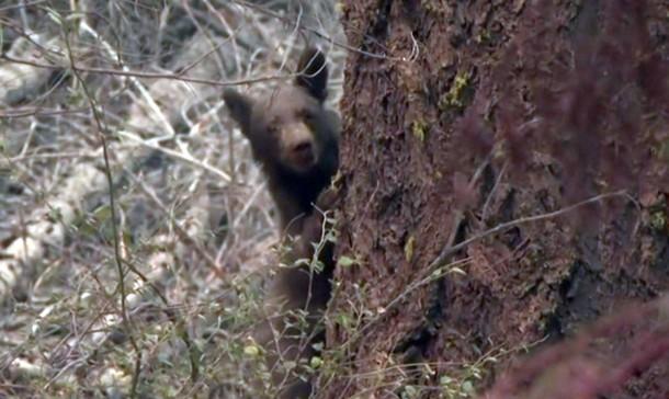 2021 08 19 195132 - Калифорния: в сгоревшем лесу находят медвежат