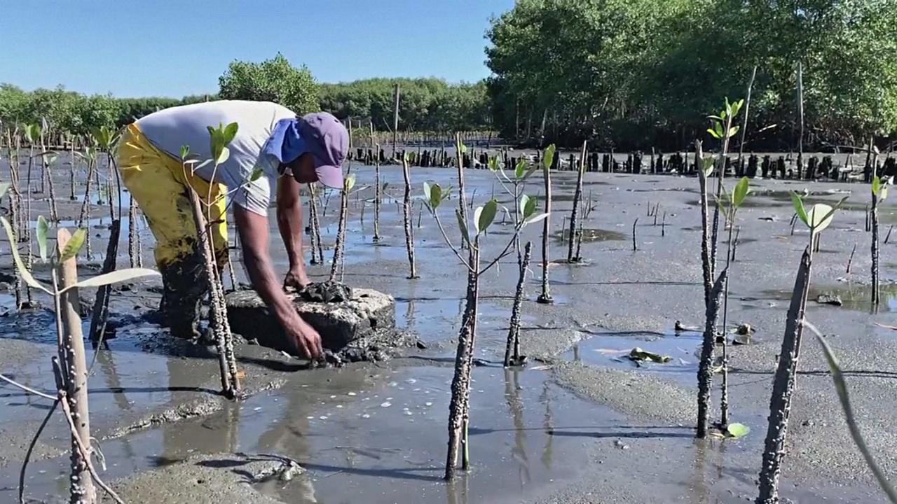 Мангровые деревья на площади в 75 футбольных стадионов высадят в Бразилии