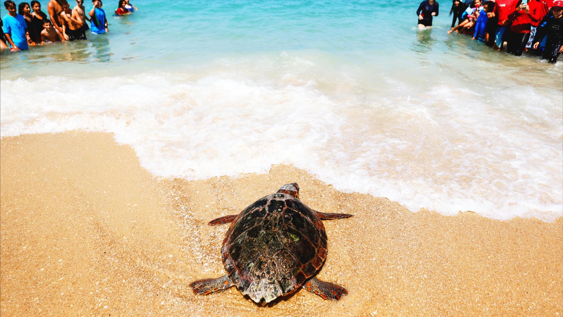 Как освобождённая черепаха «добежала» до моря