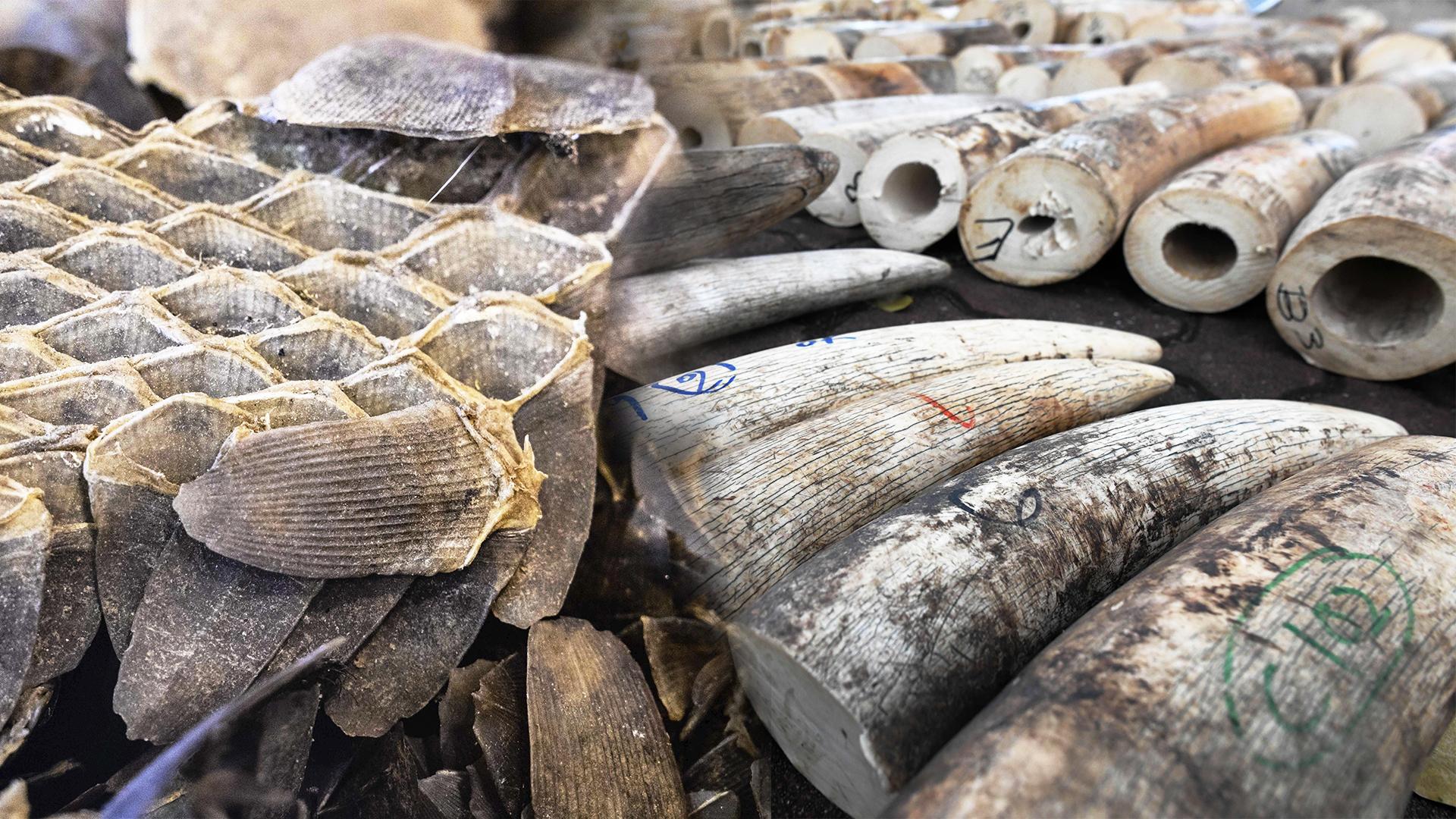 Чешую панголинов и бивни слонов на рекордные $54 млн изъяли в Нигерии