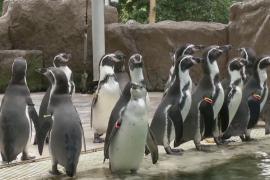 Зарядка для пингвинов: как развлекают животных в тайском зоопарке