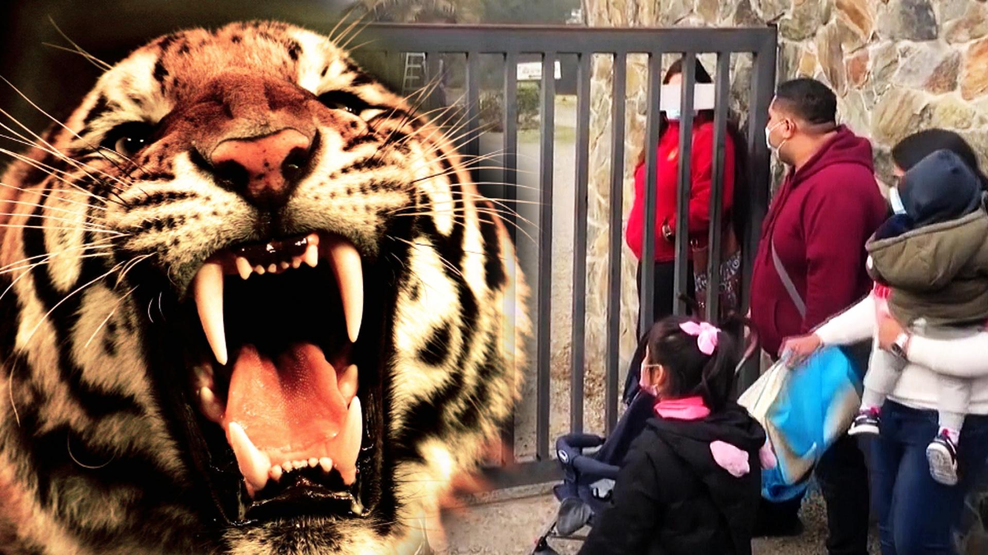 Тигр убил работницу сафари-парка в Чили