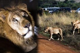 Львам в Кении угрожают засухи, наводнения и конфликт с человеком