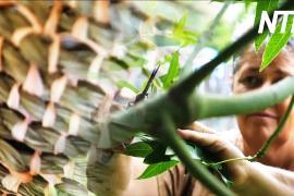 Связь с предками: австралийка нашла себя благодаря плетению из виноградной лозы