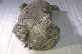 Сохранились даже усы: учёные выяснили возраст останков пещерного львёнка