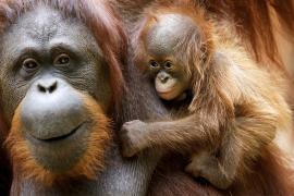 Редкий примат: в зоопарке радуются первому за год орангутану