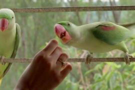 К индианке каждый день прилетает три десятка попугаев