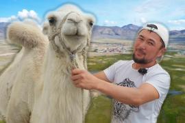 Традиции кочевников: верблюдов разводит семья из Кош-Агача