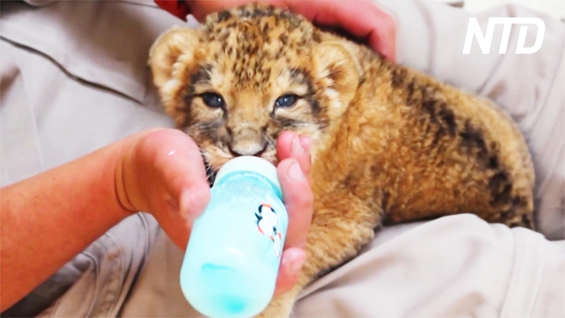 Редкое прибавление: в мексиканском зоопарке родились трое львят