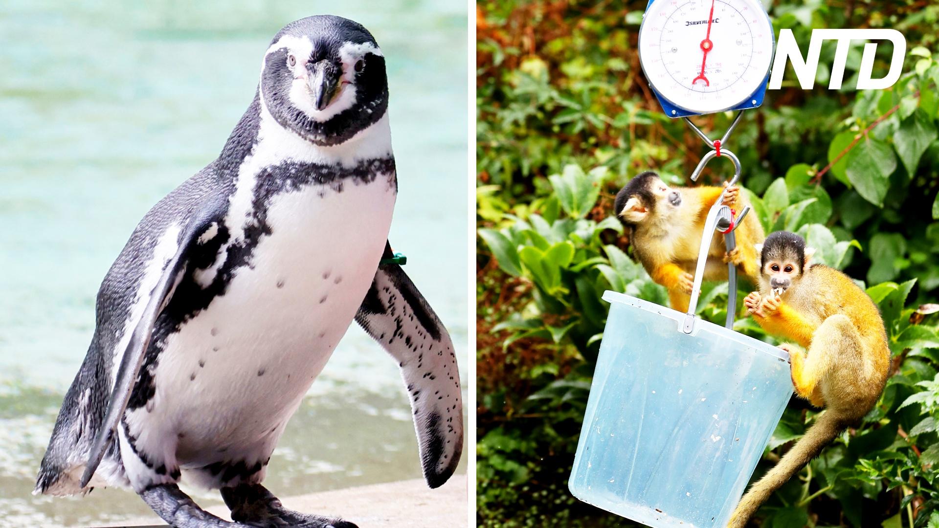 Весы и рулетки: в Лондонском зоопарке измеряют и взвешивают питомцев