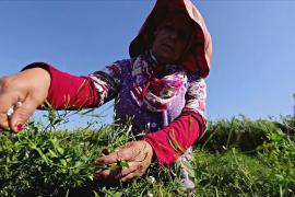 Где выращивают жасмин для знаменитых духов Chanel № 5