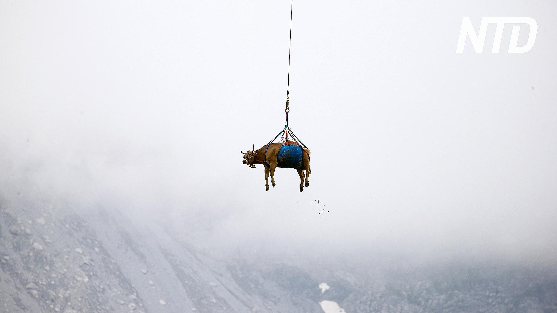 «Летающие» коровы: как в Швейцарии перевозят коров на новые пастбища