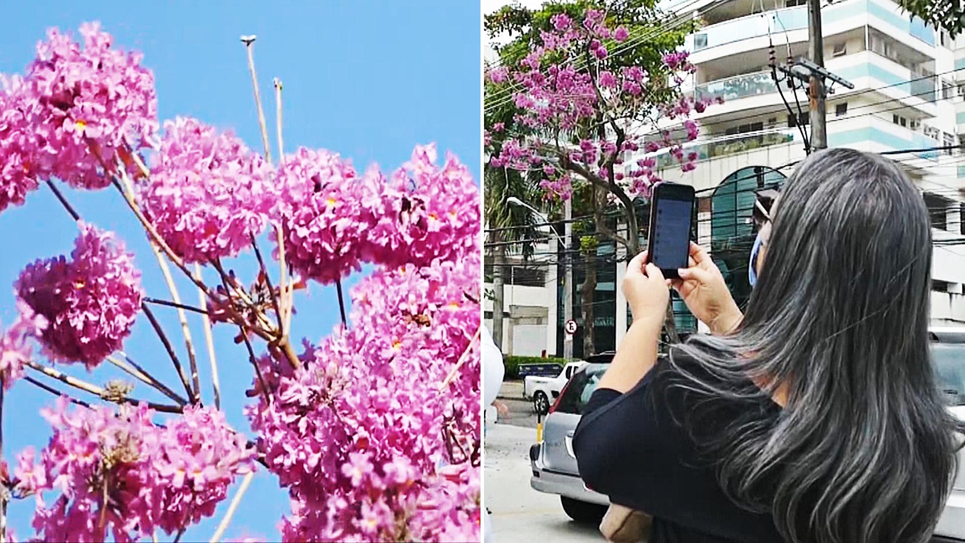 Цветут только шесть дней: в Рио любуются цветками табебуйи