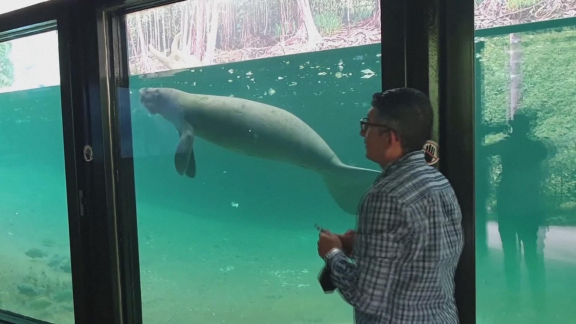 В мексиканском зоопарке поселились редкие ламантины