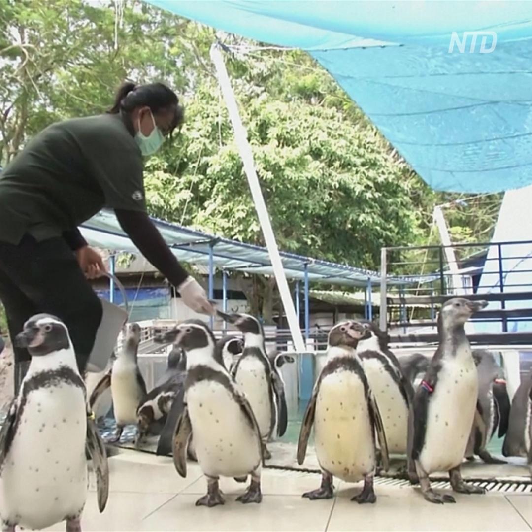 Как пингвинов избавляют от депрессии в тайском зоопарке