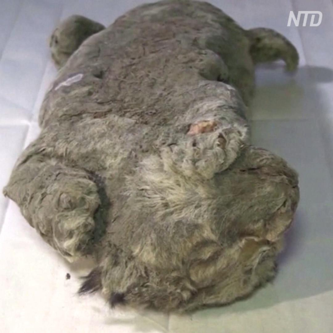 Пещерный львёнок идеально сохранился за 28 тыс лет