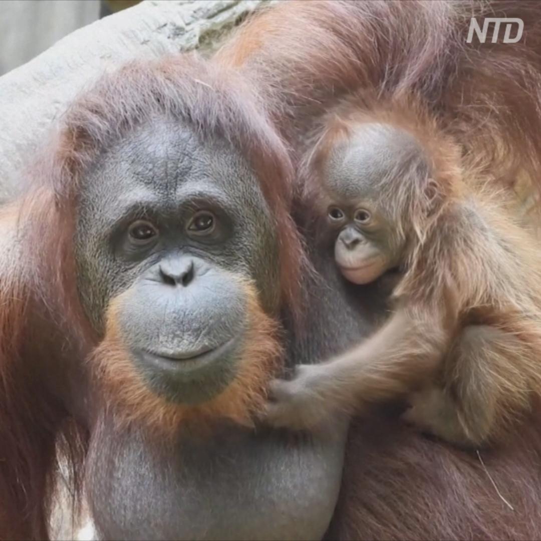 Первый пошёл: редкий орангутан родился в Испании