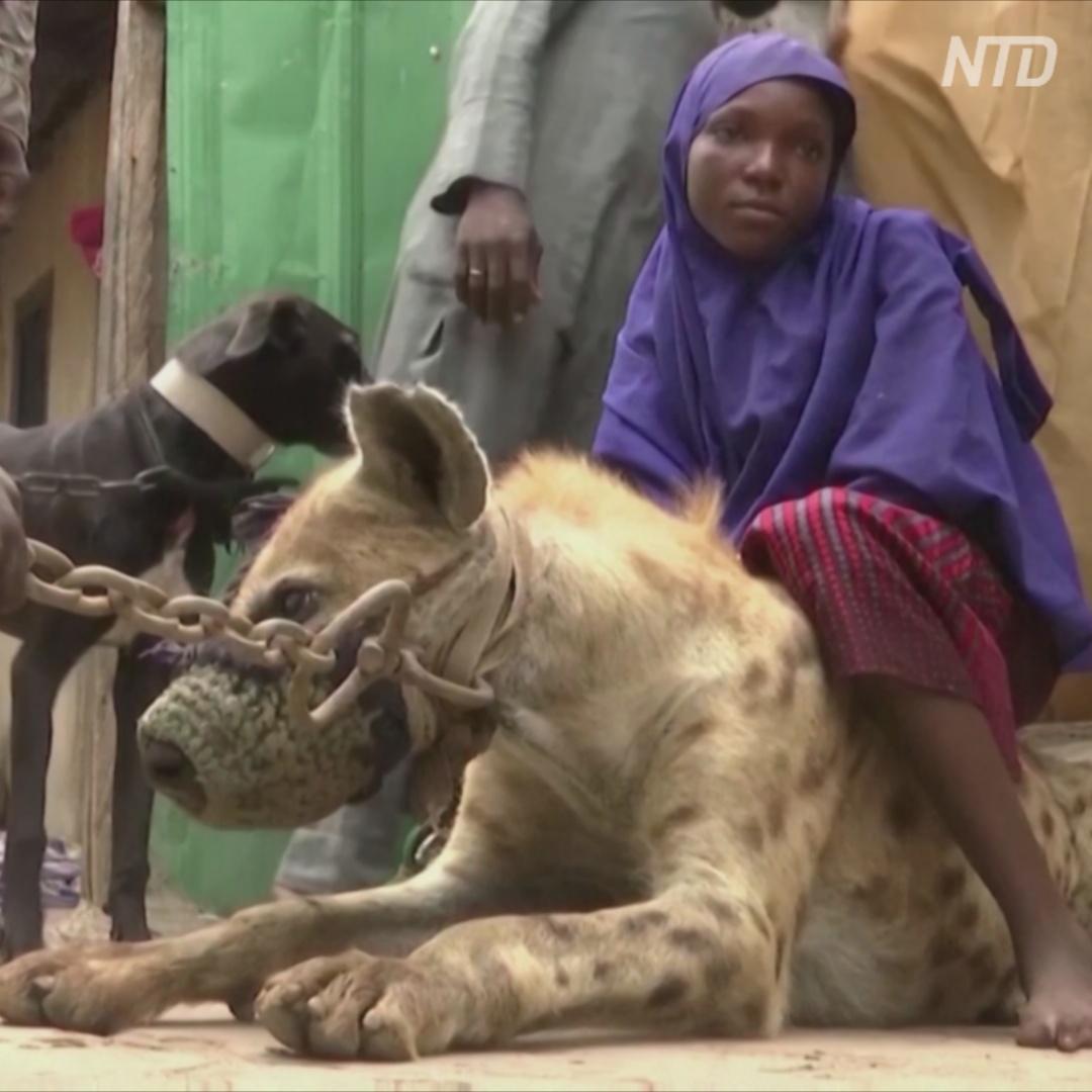 Укротителей гиен в Нигерии всё меньше