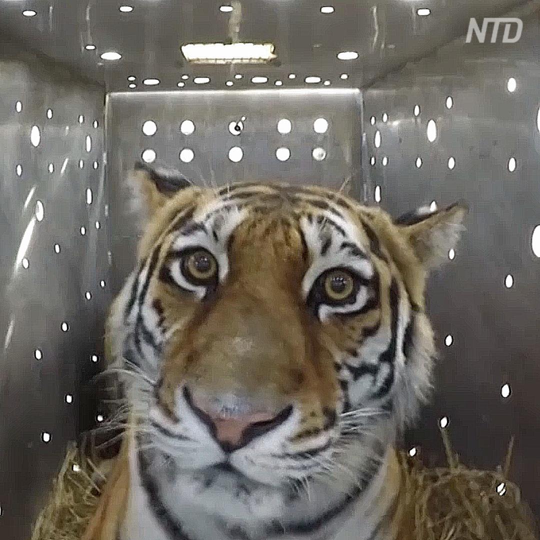 Как тигрицу выпускали в России после реабилитации